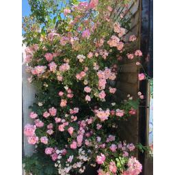 Kew Rambler - Bare Root