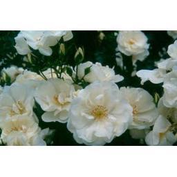Flower Carpet White - Potted