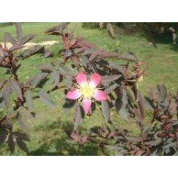 Rosa Rubrifolia - Bare Root