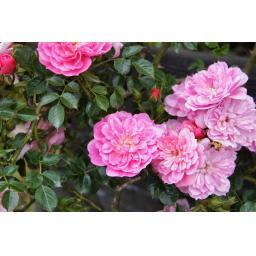 Pink Bells - Bare Root