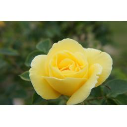 Yellow Dagmar Hastrupp - Bare Root