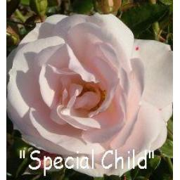 Special Child - Bare Root