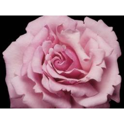 Millie Rose - Bare Root