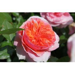 Duchess of Cornwall - Bare Root