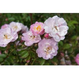 Perennial Blush - Bare Root