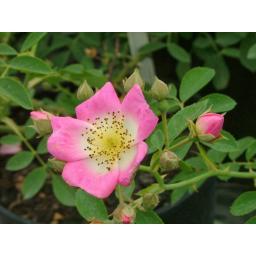 Kew Rambler - Potted