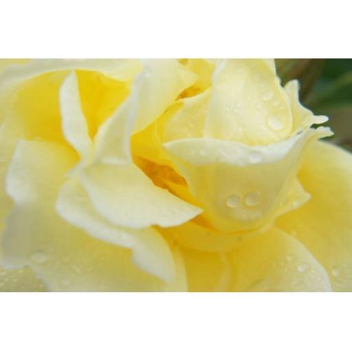Yellow Dagmar Hastrupp - Potted