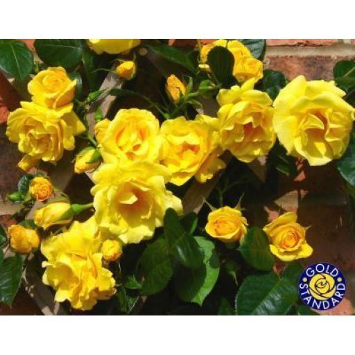 Gardeners Glory - Bare Root