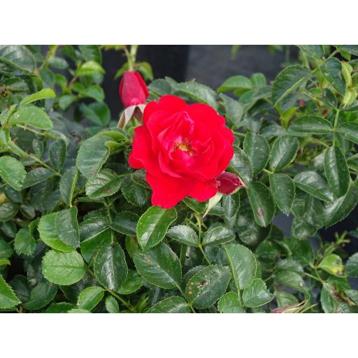 Scarlet Flower Carpet - Potted