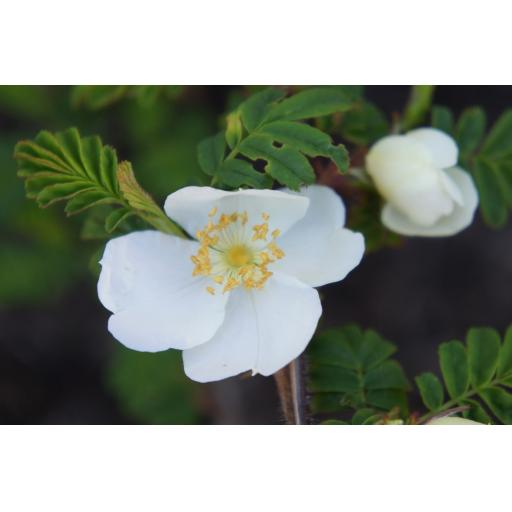 Rosa Serecia Pteracantha - Bare Root