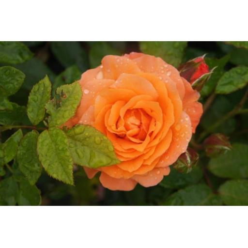 Lady Marmalade - Potted OUT OF STOCK TILL NOVEMBER