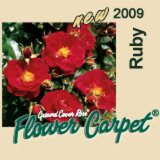 Flower Carpet Ruby - Potted