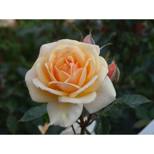 Sweet Honey - Floribunda