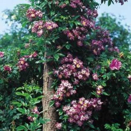 Vielchenblau - Bare Root