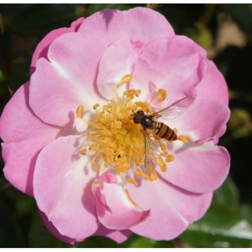The Lakeland Rose - Potted OUT OF STOCK TILL NOVEMBER