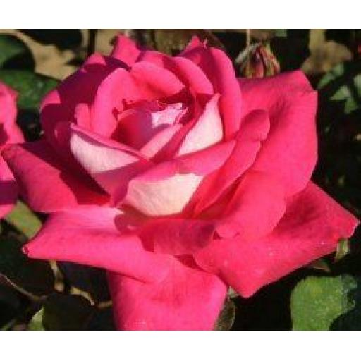Charlies Rose - Bare Root