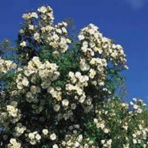 Rambling Rector - Potted