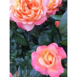 rose photo 5.jpg