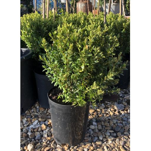 Box Hedging- Buxus Semperviens - Potted