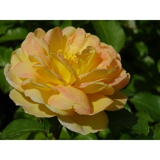 Belle De Jour - Potted OUT OF STOCK TILL NOVEMBER