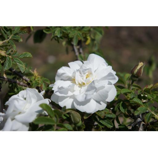 Blanc Double de Courbert - Bare Root