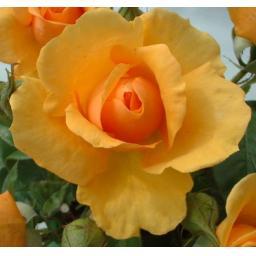 golden_beauty.jpg