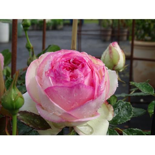 Eden Rose - Potted