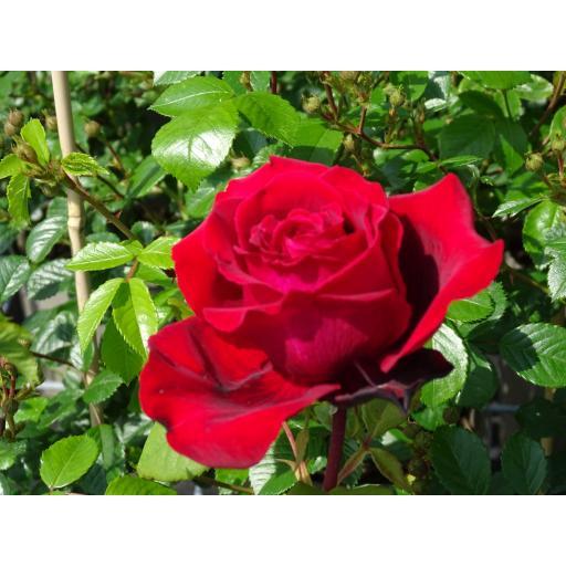 Red perfume de provence