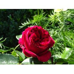 Red Eden Rose.jpg