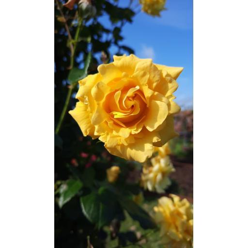 Gardener's Glory - Potted