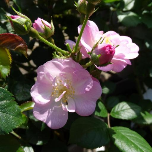 Perennial Blush - Potted